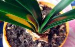 Кливия: уход и размножение в домашних условиях