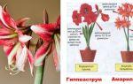 Амариллис – уход в домашних условиях: правила посадки, содержание в состоянии цветения и покоя, лечение распространенных заболеваний