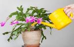Декабрист – цветок: уход в домашних условиях, особенности размножения и пересадки