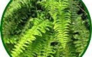 Нертера: уход и размножение в домашних условиях