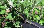 Когда пересаживать хризантемы из горшка в горшок — весной или осенью: секреты выращивания