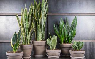 Как пересадить тещин язык в домашних условиях – правила и особенности