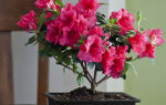 Герань: полезные свойства комнатного растения