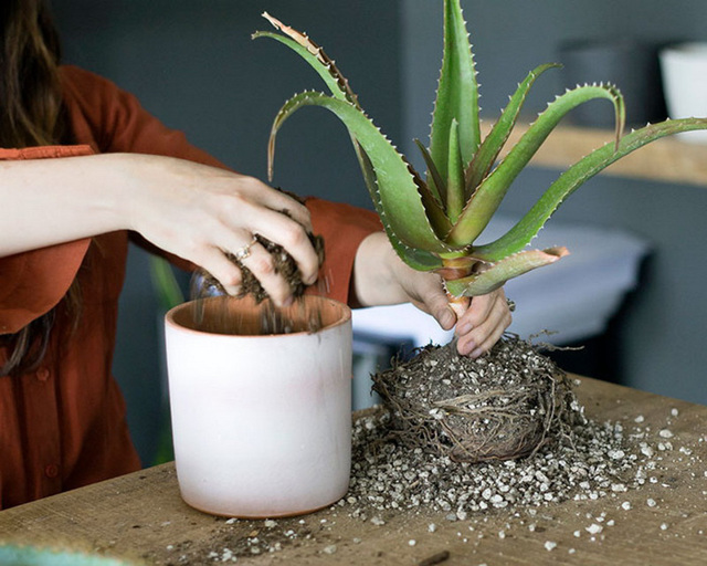 Алоэ: уход в домашних условиях, секреты выращиваниястолетника, болезни, вредители