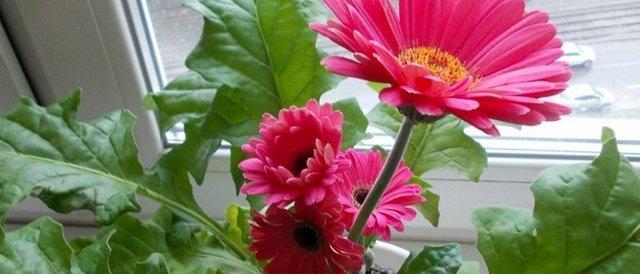 Выращивание комнатной герберы и уход за ней в домашних условиях