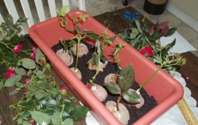 Картофель в быту: чистим серебро, показываем фокусы, растим розы
