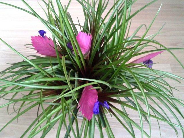 Тилландсия: уход за цветком в домашних условиях, разновидности