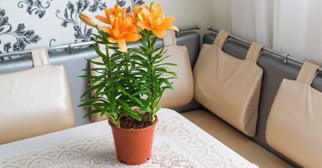 Как хранить лилии зимой в домашних условиях?