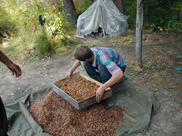 Как чистить кедровые орехи правильно?