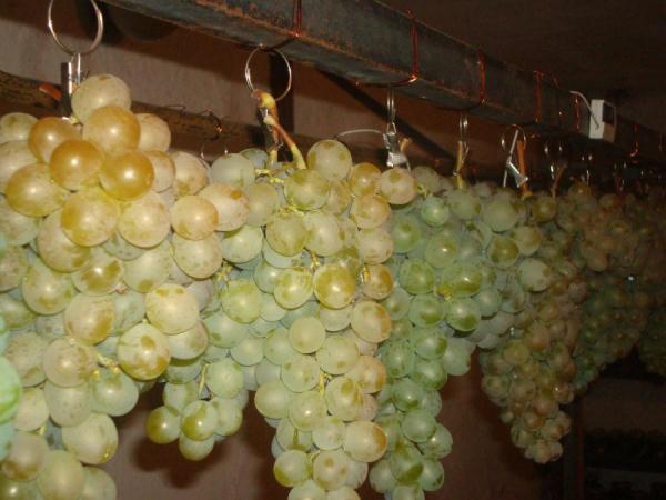 Как хранить виноград в домашних условиях – важные моменты процесса, начиная от сбора урожая