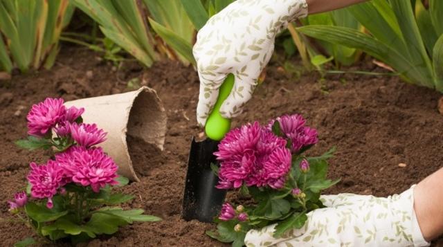 Когда пересаживать хризантемы из горшка в горшок - весной или осенью: секреты выращивания