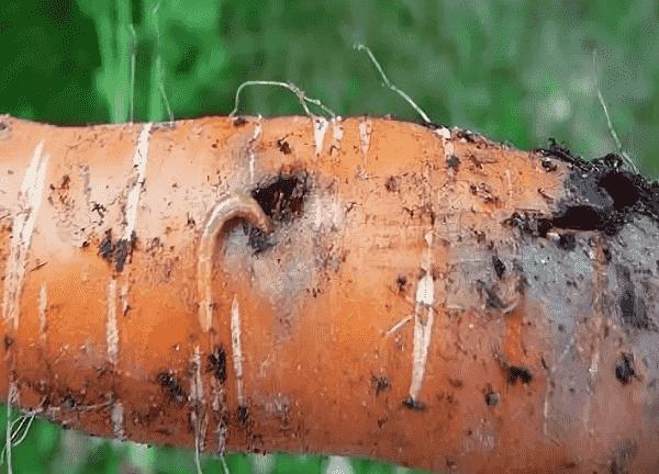 Морковная муха – как вывести с участка?
