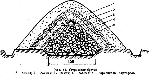 Как хранить топинамбур на дачном участке и в квартире?