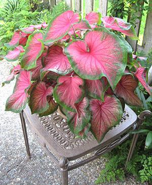 Каладиум: уход в домашних условиях за цветком