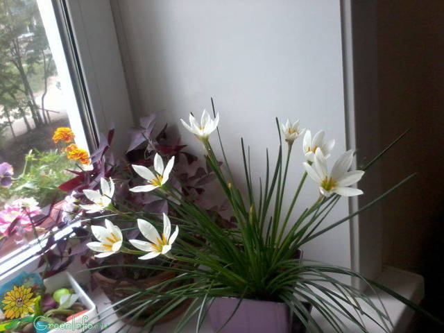 Зефирантес в домашних условиях - посадка, размножение и уход