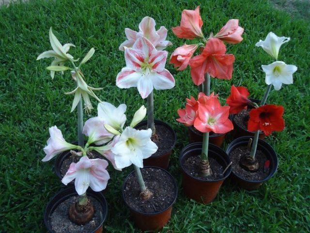 Гиппеаструм: уход в домашних условиях и особенности цветения