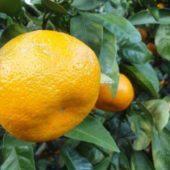 Как прорастить мандарин из косточки в домашних условиях: замачивание и посадка семени