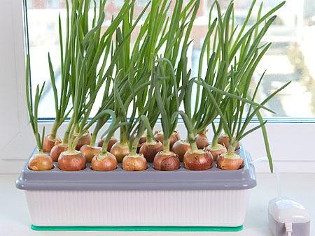 Как посадить лук дома в домашних условиях на подоконнике в воде на зелень: проращиваем луковицу