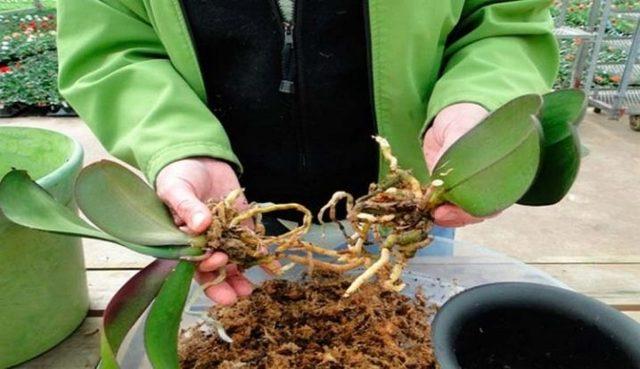 Уход за орхидеей в домашних условиях – советы по размножению, обрезки и поливу