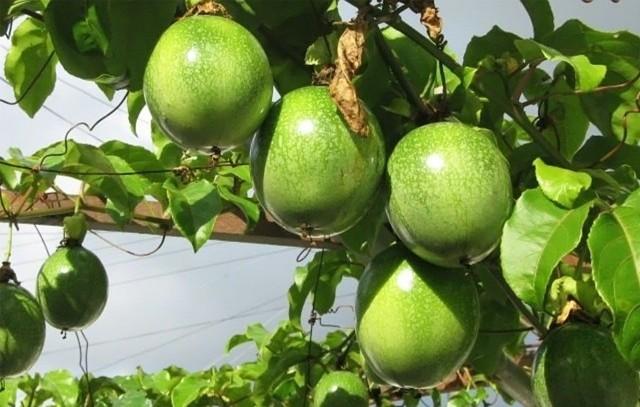 Маракуйя, плод страсти – откуда такой название?