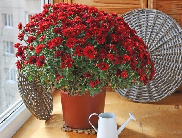 Как ухаживать за домашней хризантемой в горшке: посадка, полив, подкормка