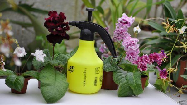 Можно ли опрыскивать фиалки водой и препаратами, правила и инструкция