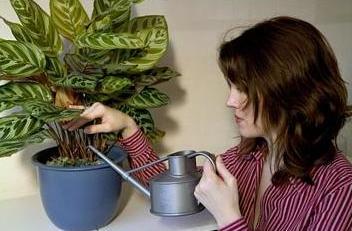 Калатея: уход в домашних условиях, разновидности, секреты выращивания