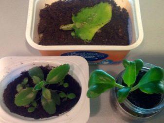 Каланхоэ: уход в домашних условиях, разновидности и размножение
