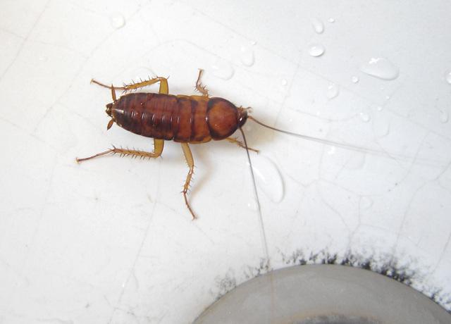 Борная кислота от тараканов: использовать или нет?