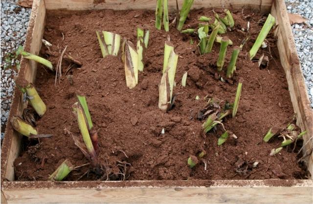 Канны – цветы – хранение зимой тремя способами вдомашних условиях