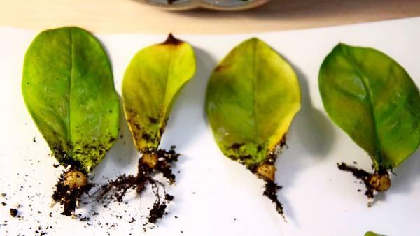 Замиокулькас: уход в домашних условиях и особенности размножения