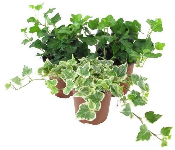 Какие растения нельзя держать дома: от безопасности до суеверий