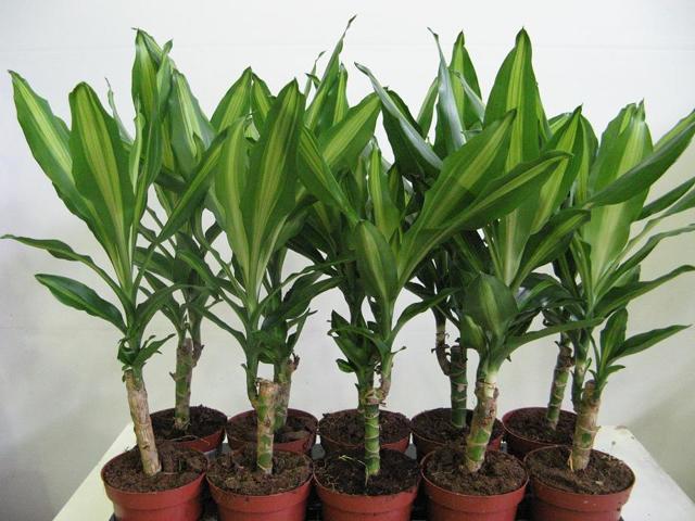 Драцена: уход в домашних условиях, особенности размножения растения