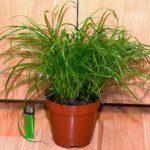 Циперус - уход в домашних условиях, особенности сортов, способы размножения