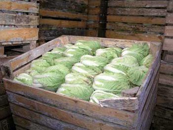 Как правильно хранить капусту до весны в погребе зимой: важные нюансы