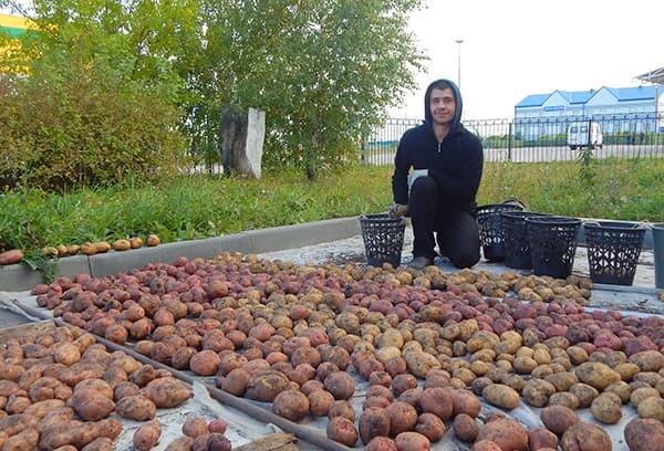 Как хранить картошку в погребе зимой: правила, проверенные веками