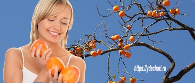 Хурма – польза и вред для организма, противопоказания к употреблению, как выбрать и кушать