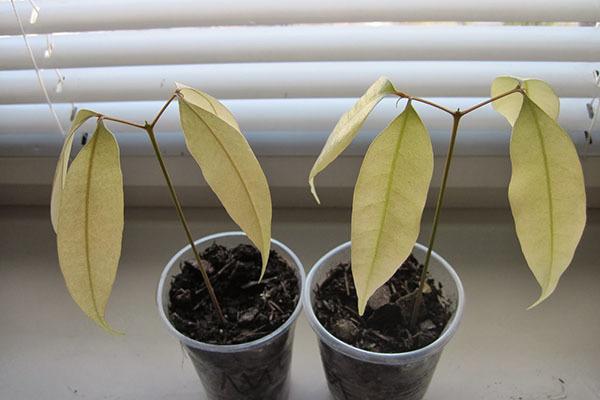 Как прорастить личи из косточки в домашних условиях – посадка и уход за сеянцами