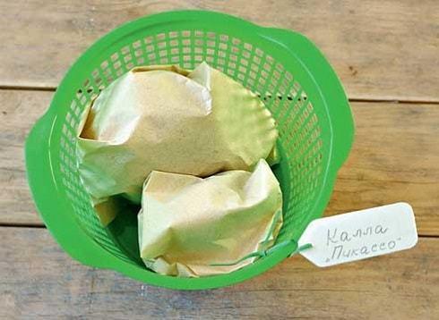 Как хранить каллы зимой в домашних условиях и когда их выкапывать
