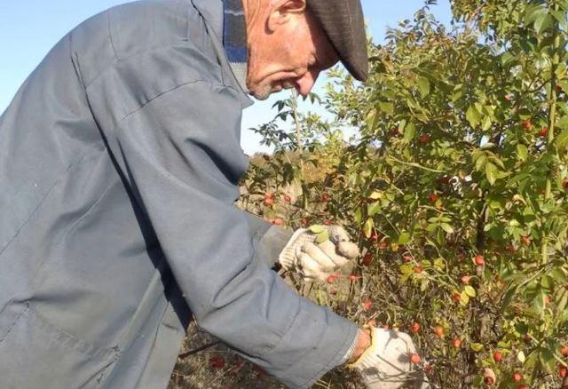 Как заморозить шелковицу на зиму: сбор плодов, подготовка, варианты хранения