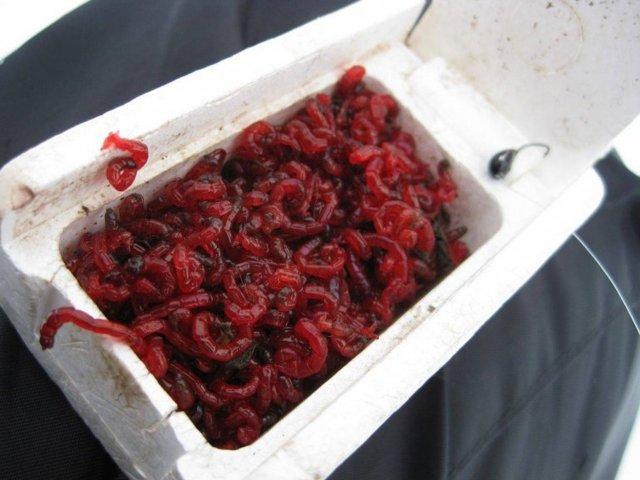 Как хранить мотыля в домашних условиях и на рыбалке