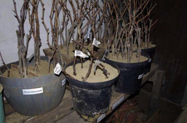 Как сохранить черенки роз до весны: несколько способов