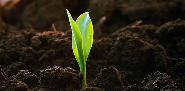 Можно ли поливать цветы чаем и мульчировать почву заваркой?