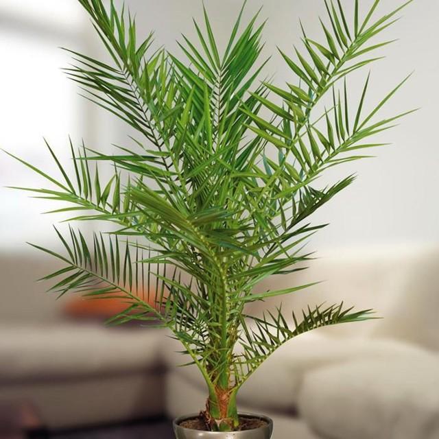 Как прорастить финиковую косточку в домашних условиях – 2 способа посадить финик
