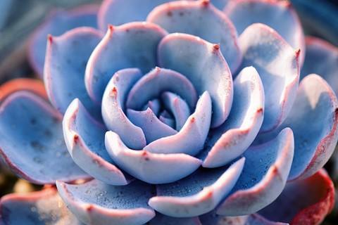 Эхеверия: уход, разновидности, пересадка и размножение