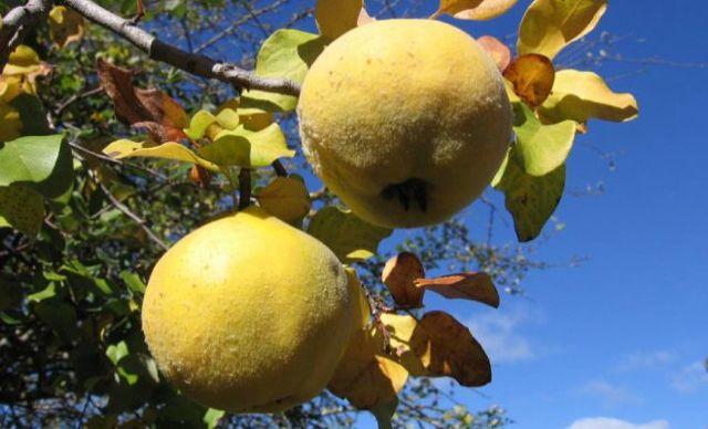 Айва – полезные свойства и противопоказания для здоровья, химический состав плодов и семян, способы приготовления