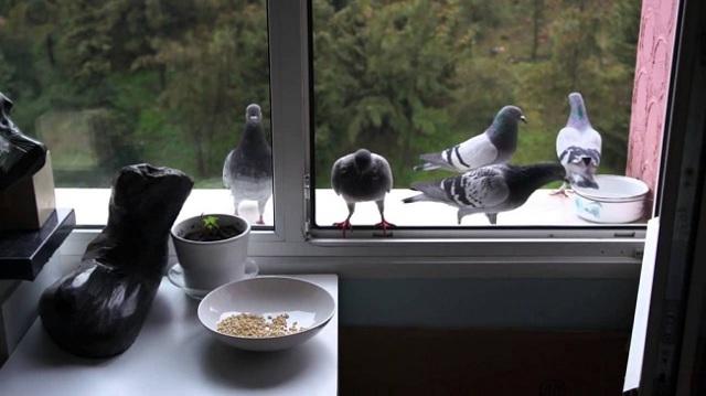 Как избавиться от голубей на балконе: эффективные способы