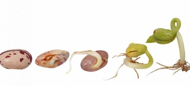 Как быстро прорастить фасоль в домашних условиях для еды и для школы: инструкция пошагово