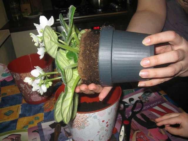 Гортензия комнатная: уход в домашних условиях, особенности содержания