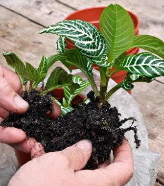 Афеландра – уход в домашних условиях, особенности содержания и размножения цветка